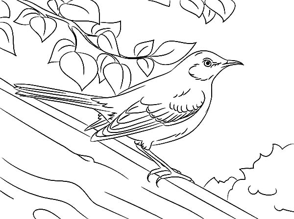 Drawing Northern Mockingbird Coloring Pages: Drawing