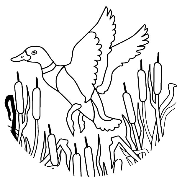 Mallard Duck : Mallard Duck Outline Coloring Pages
