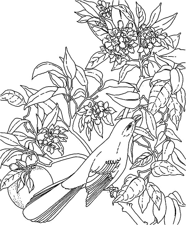Free coloring pages of northern mocking bird