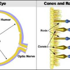 Canine Eye Diagram Right 3 Wire Stop Start Wiring Look Inside The Alt