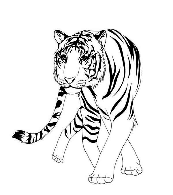A Classic Chinese Illustration Of Asian Tiger Coloring
