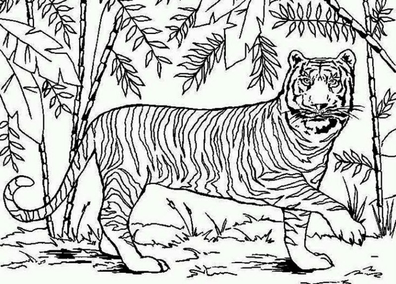 An Asian Tiger In Bamboo Forest Coloring Page An Asian