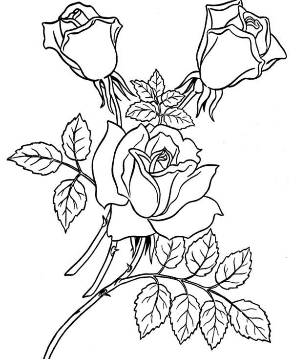 Three Beautiful Rose Coloring Page: Three Beautiful Rose