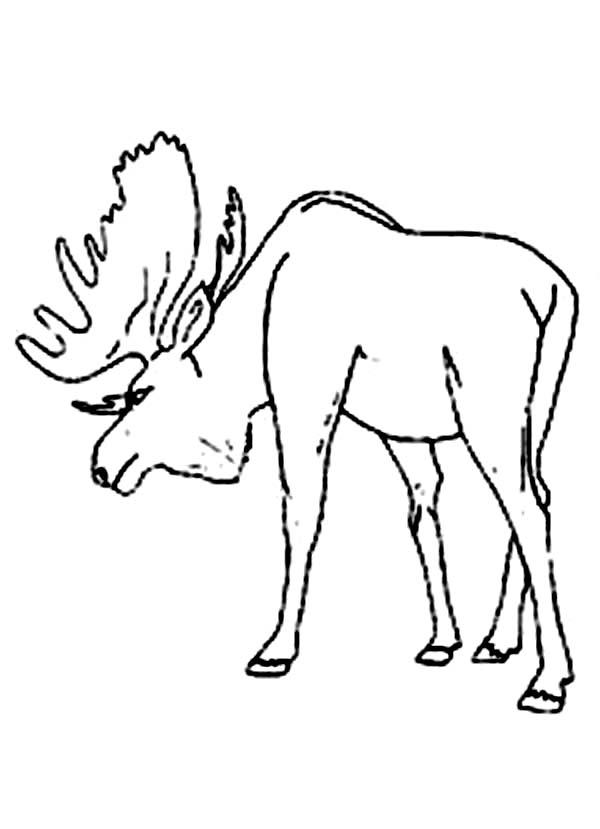 Moose Defending His Territory Coloring Page: Moose