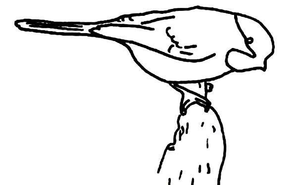 Chickadee Coloring Page for Kids: Chickadee Coloring Page
