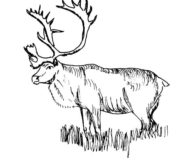 Elk : Sketch of an Elk Coloring Pages, Rocky Mountain Elk