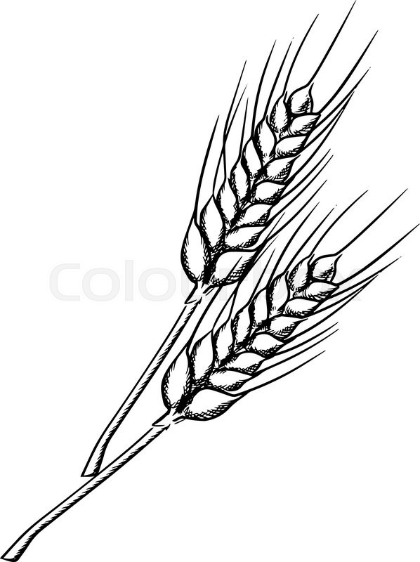 Organic farm ears of wheat with ripe grains and stems