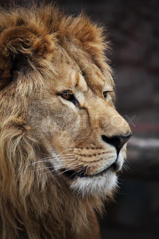 Big beautiful lion portrait  Stock Photo  Colourbox