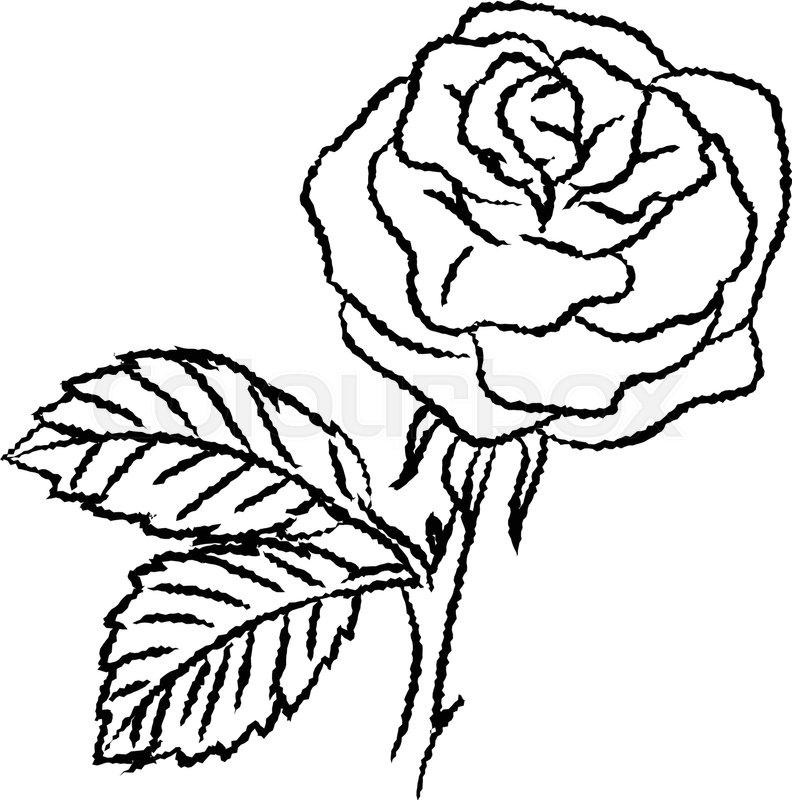 Hand drawn sketch of Rose isolated, Black and White