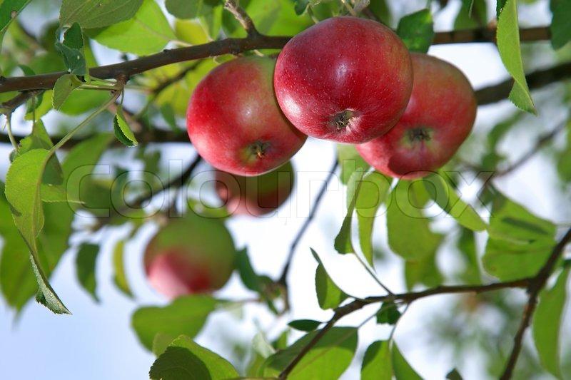 Vegetable Garden In Fall Wallpaper Red Apples On An Apple Tree Branch In The Garden Stock