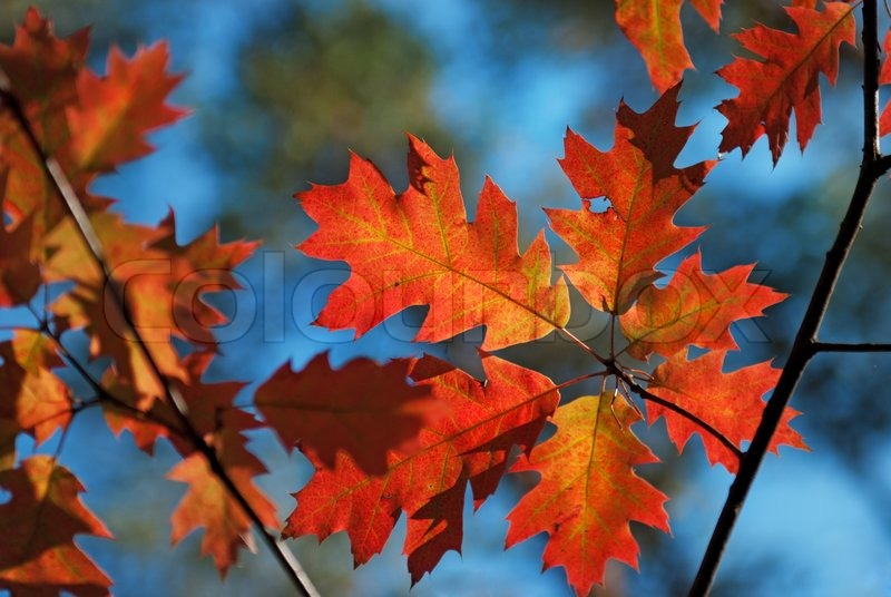 Fall Colored Background Wallpaper Autumn Red Oak Leaves Stock Photo Colourbox