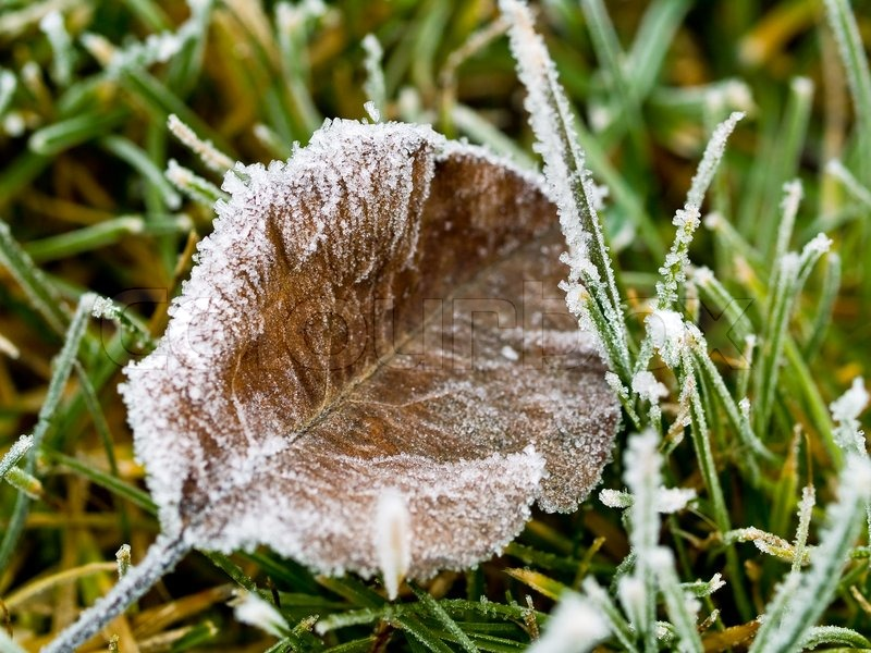 Frosty Fall Leaves Wallpaper Frost Covered Leaf On Frozen Grass On Stock Photo
