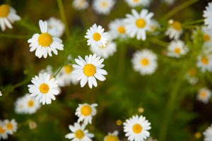 tiny_chamomile_flowers_206823[1]