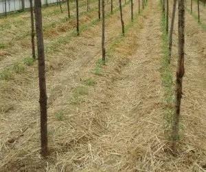 Pacciamatura con paglia per pomodori biologici