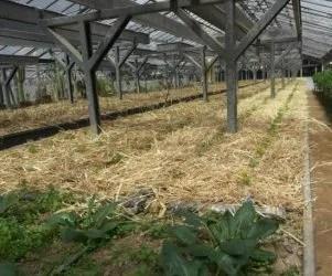Pacciamatura naturale orto con paglia-bancale di prezzemolo