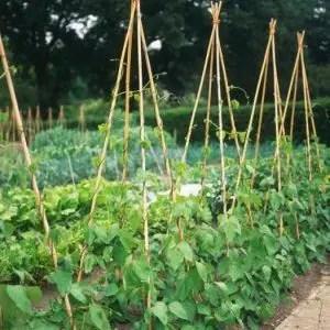 Coltivare fagiolini - ragnetto rosso-sostegno con canne di bambu a capanna