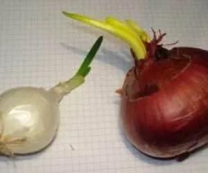 Coltivare cipolle germogliate