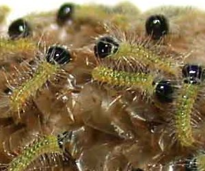 bacillus thuringiensis kurstaki-insetticida biologico-larva di processionaria