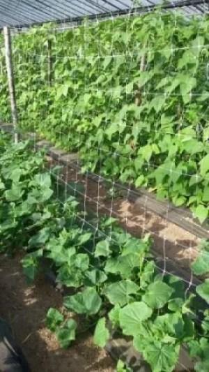 Caltivare cetrioli-Consociazione cetrioli - fagiolini