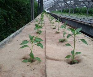 Coltivare peperoncini - pacciamatura naturale con telo in juta