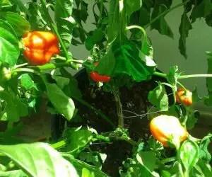 Coltivare peproncini - varietà Habanero Red Savina