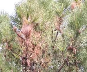 Danno sulla vegetazione fatto dalla processionaria del pino