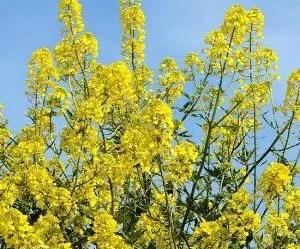 Allontanare le lumache - senape gialla