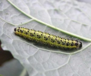 La cavolaia - riconoscimento e difesa biologica - larva di cavolaia