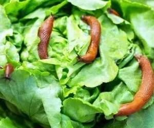 Coltivare lattuga canasta lattuga romana-attacco limacce su insalata