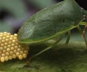 Deposizione uova Cimice verde