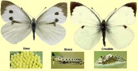 La cavolaia - riconoscimento e difesa biologica - i diversi stadi della cavolaia