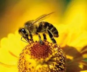 Piretro e piretroidi - ape sul fiore