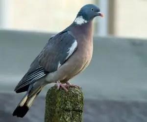 Come tenere lontano i piccioni e gli uccelli - Colombaccio