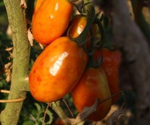pomodoro attaccato da cimici verdi o cimici asiatiche