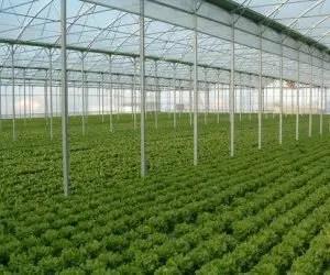 Coltivare lattuga romana e lattuga canasta- serre di Almeria - coltivazione intensiva in serra