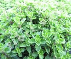 olio essenziale di origano-pianta officinale- giovani piantine