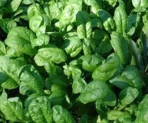 semina e coltivazione degli spinaci-semina troppo intensa