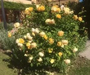 potatura-rosa-gialla