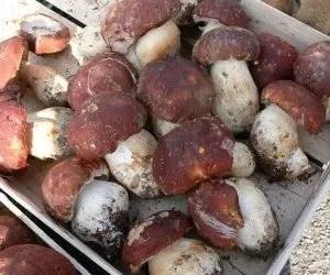 funghi porcini-raccolta-generosa
