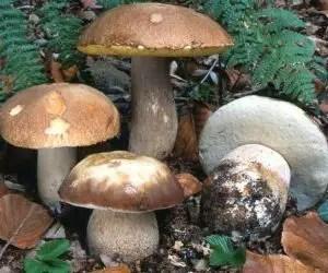 funghi porcini-porcino-destate-boletus-aestivalis