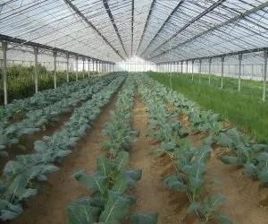 la coltivazione del cavolfiore-sistema in serra con piante appena rincalzate