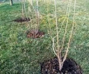 potatura-giovani-alberi-di-nocciolo