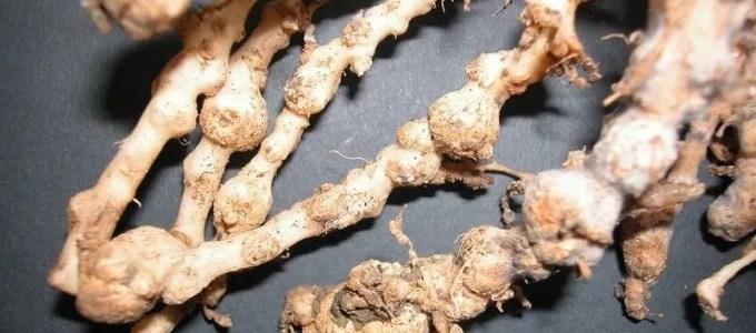 I nematodi. Difendere il terreno dai parassiti con il sovescio di brassicaceae