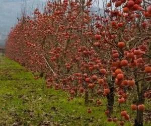 le proprietà dei cachii-alberi spogli con frutti