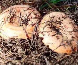 Funghi rositi-lactarius deliciosus-nascosti tra gli aghi di pino