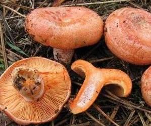 funghi-rositi-lactarius deliciosus