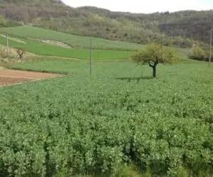 concimazione naturale-sovescio di leguminose-campo di favino