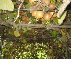 Coltivazione del kiwi con pergola domestica