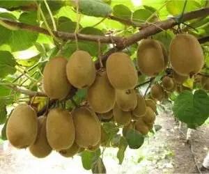 I frutti della coltivazione del kiwi