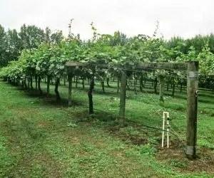 Inerbimento per la coltivazione del kiwi